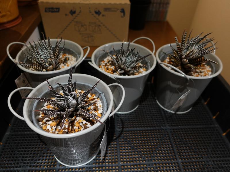 十二の巻(Haworthia fasciata)